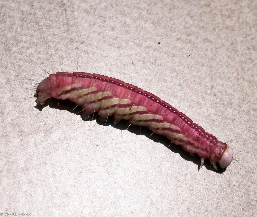 3ec7e-pinkraupe02-lr-03