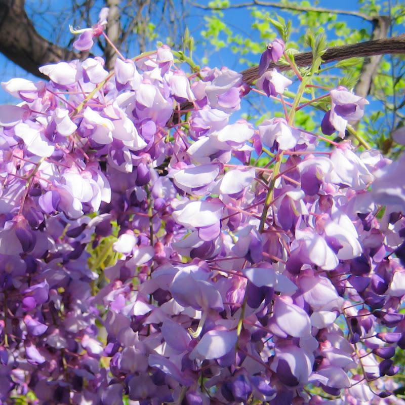 a5516-wisteriamacrosmall02-lr-1723
