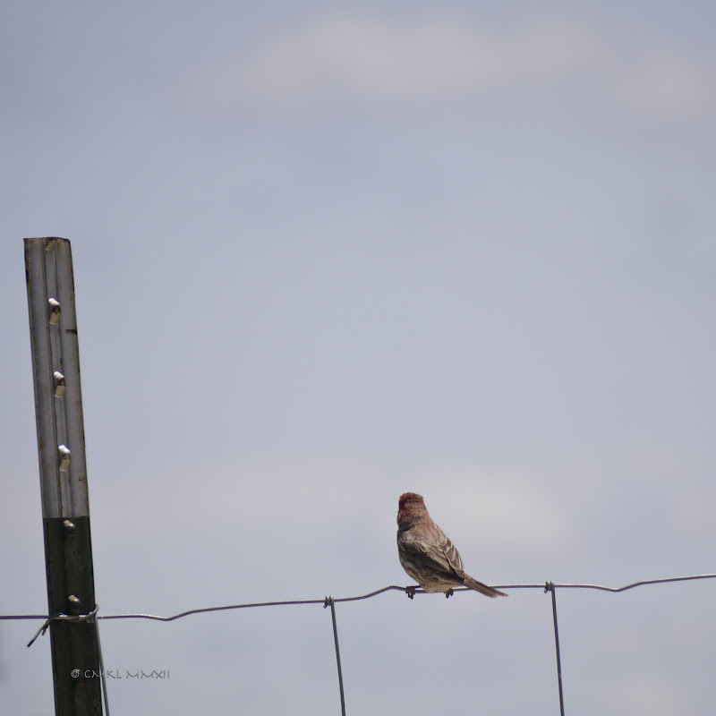 6c6a7-housefinch03-lr-1050764