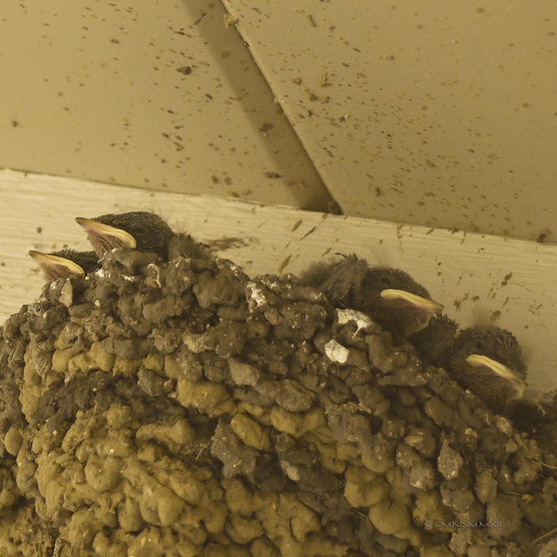 aacea-swallowhatchlings05-lr-1050464