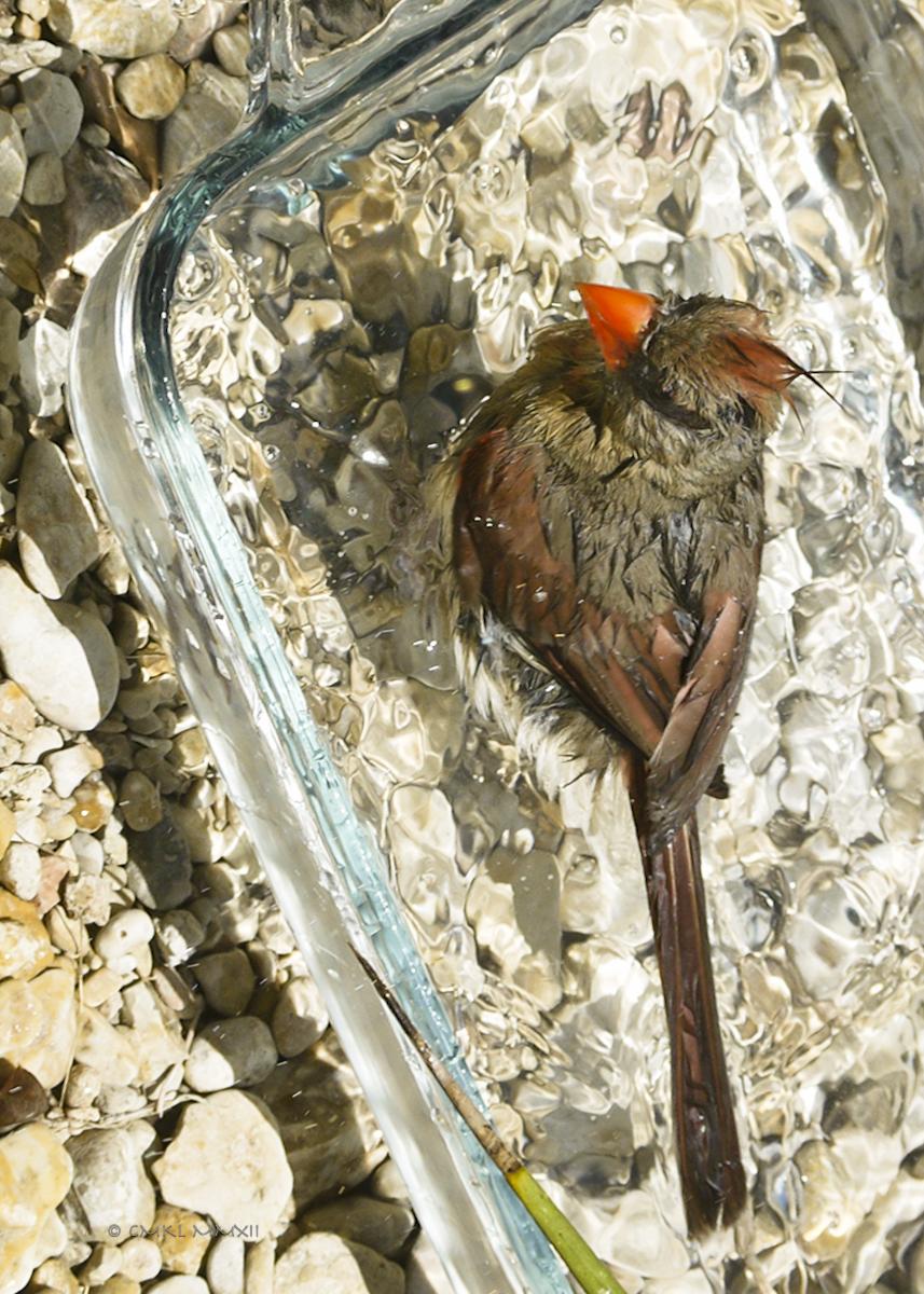 b3bea-cardinal-female-05-lr-1080261