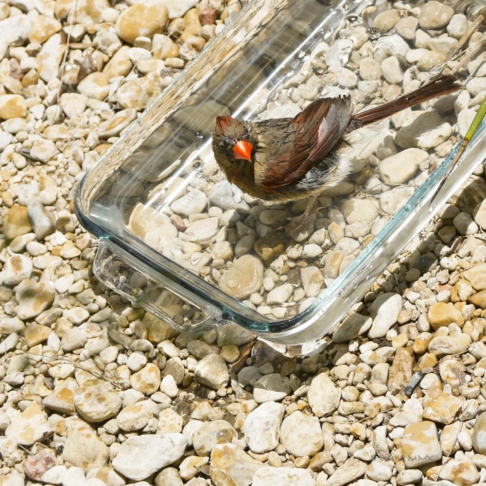 b5755-cardinal-female-03-lr-1080256