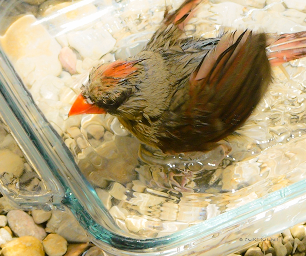 ceb83-cardinal-female-07-lr-1080270