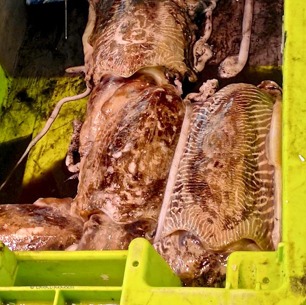 e3b4f-saintes-cuttlefish-0560