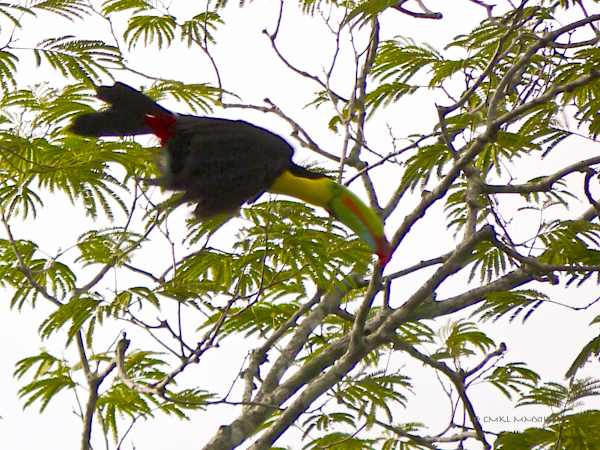 35803-toucan-06-1160219