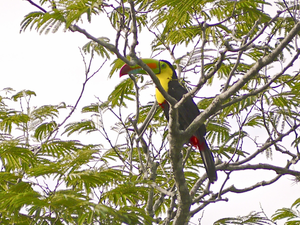 da1ac-toucan-02-1160173