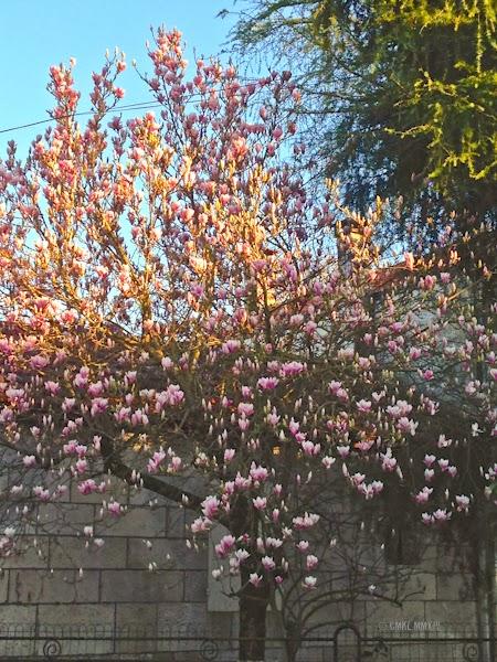 02996-magnolia-5568
