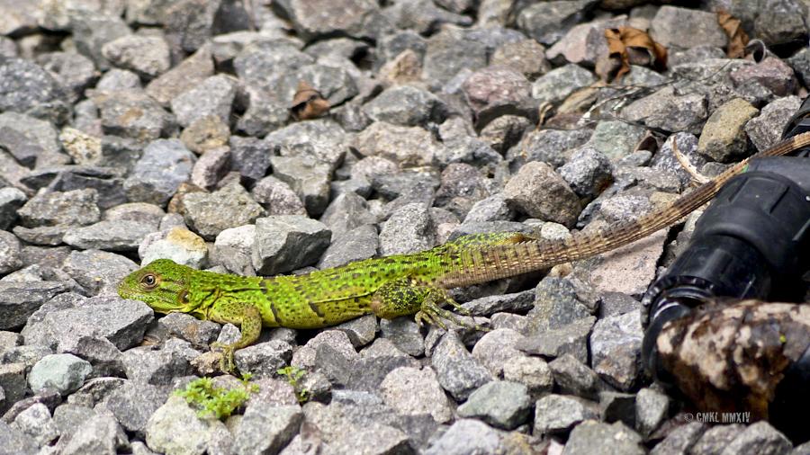 """Ctenosaura similis, Black spiny-tailed iguana - 4""""/12cm baby, may grow to  5'/1.5m"""