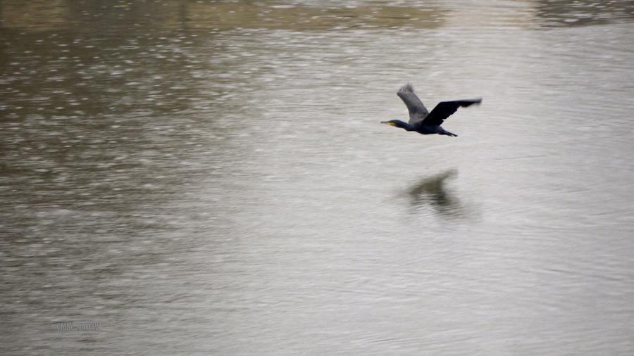 Cormorant.04-1290193