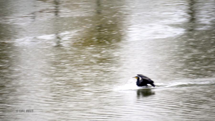 Cormorant.09-1290198