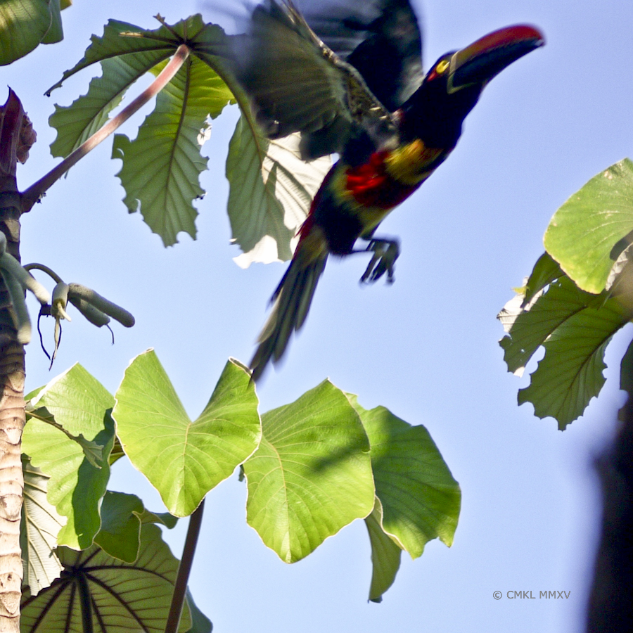 Aracari.11-1370604