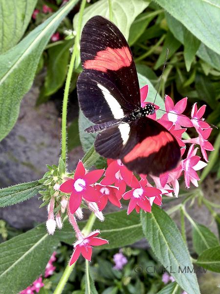 Heliconius erato, Nymphalidae - Red Postman