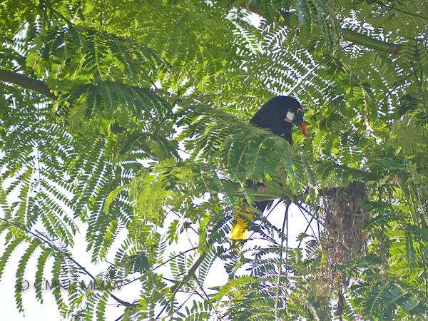 Montezuma oropendola - Psarocolius montezuma, Icteridae The largest blackbird in Central America