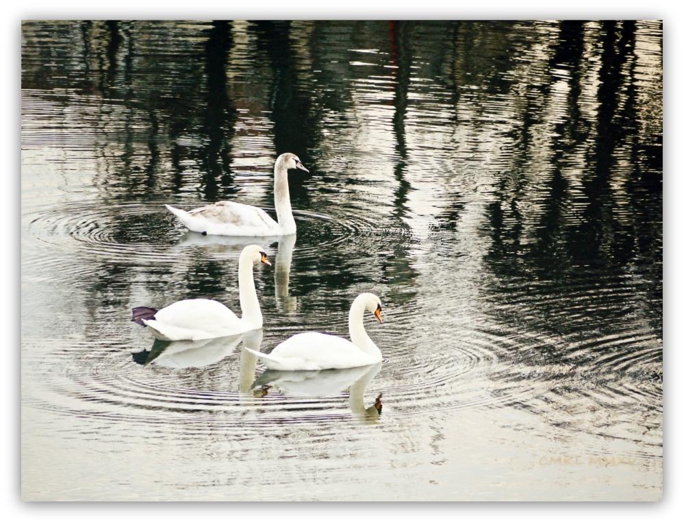 3Xmas.Swans.-1430861