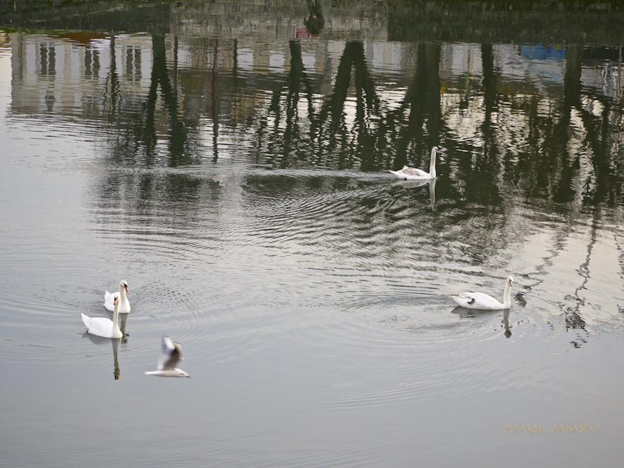 Xmas.Swans.05-1430908