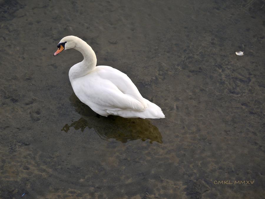 Xmas.Swans.10-1430944