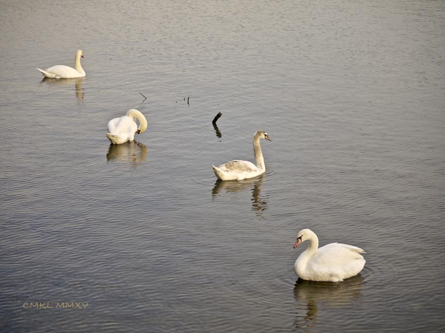 Xmas.Swans.11-1430949