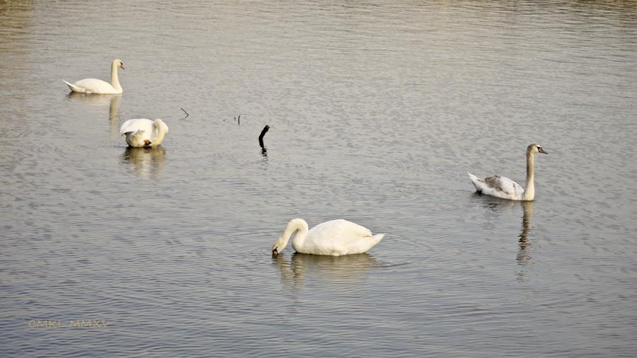 Xmas.Swans.12-1430952