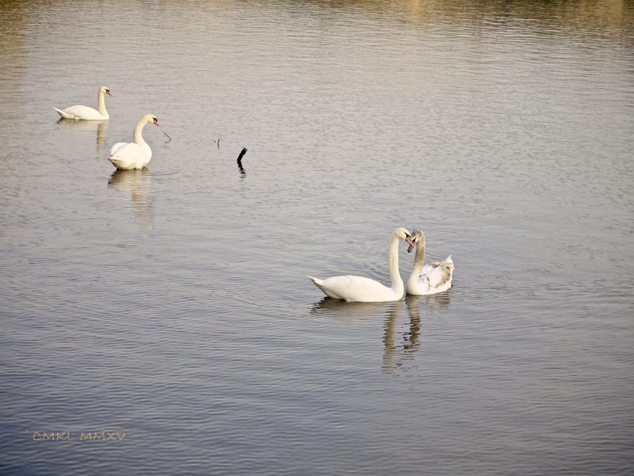 Xmas.Swans.13-1430957