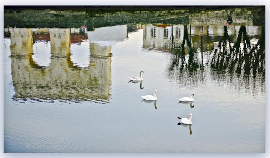 Swans.P1430895-2015