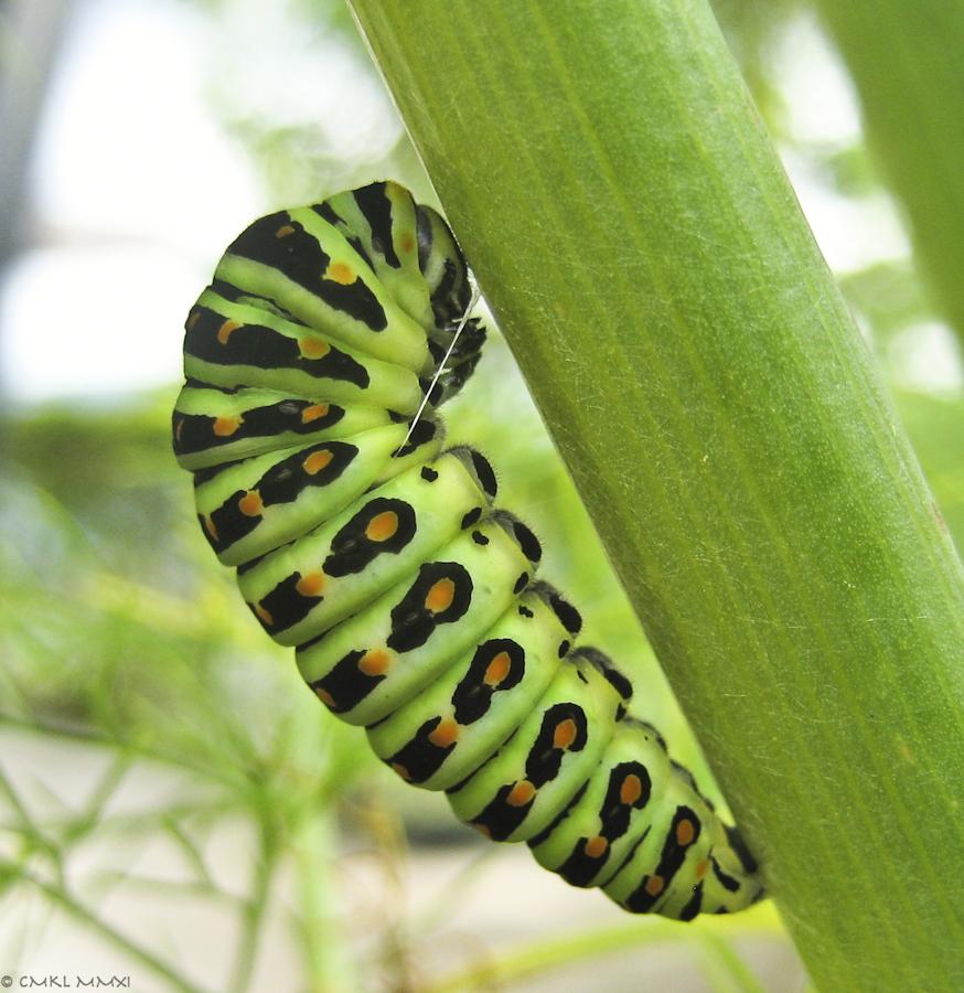 Papilio.04-9941