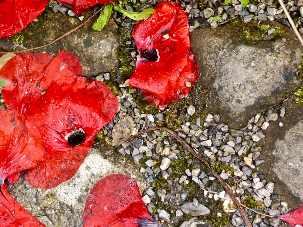 Poppies.Wet-1510374