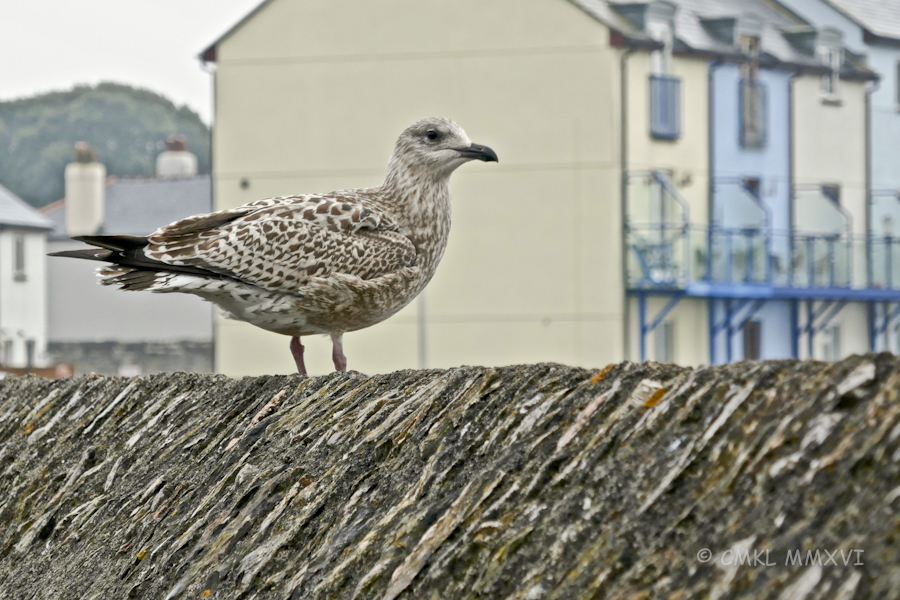 plymouth-gull-1060303