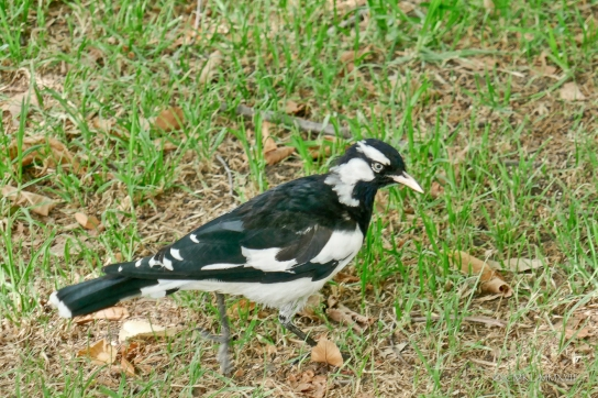 Australian magpie, Cracticus tibicen sp. which are not related to European magpies