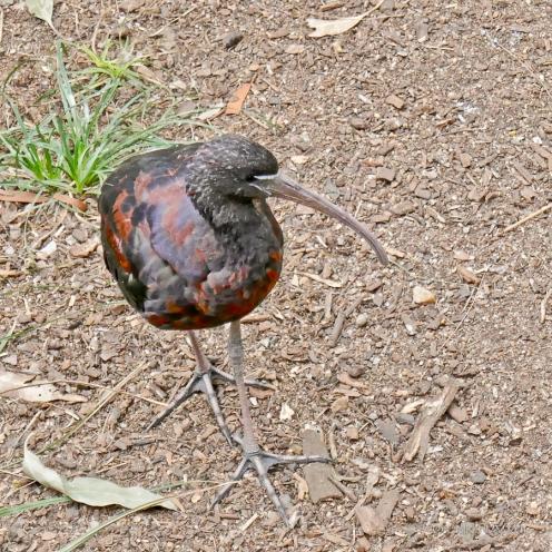 Mature Glossy Ibis, Plegadis falcinellus
