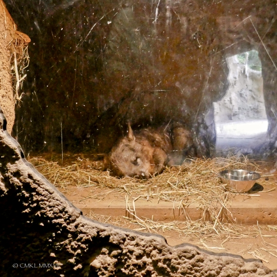 Sleeping wombat behind onr-way glass in its den.