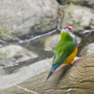 Gouldian Finch, Erythrura gouldiae, a threatened species