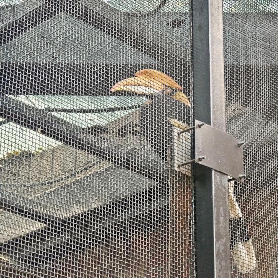 Great Pied Hornbill, Buceros bicornis, Bucerotidae