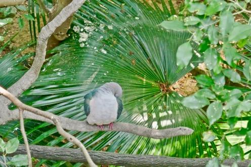 A Green Imperial Pigeon, Ducula aenea, Columbidae